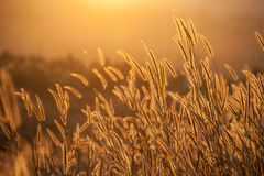 Grass during sunset royalty free stock photo
