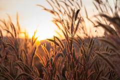Grass during sunset royalty free stock photos