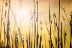 Grass in sunset Royalty Free Stock Image