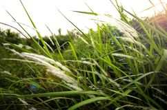 Grass an sunset halo royalty free stock image