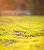 Grass in sunset light Royalty Free Stock Image