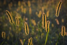 Grass, Sunset, Nature, The Sun Royalty Free Stock Image
