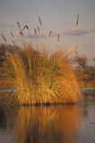 Grass at sunset, Okavango delta, Botswana. Sunset time at the Okavango Delta, Botswana Royalty Free Stock Image