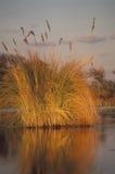 Grass at sunset, Okavango delta, Botswana Royalty Free Stock Image