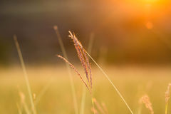 Grass when sunset with retro, vintage filter Stock Photography