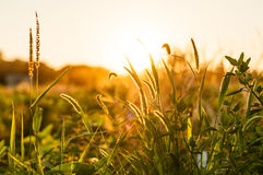 Grass in Sunset Stock Photos