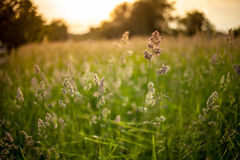 Grass in sunset. Shot of blurred grass in evening sunset lighting Stock Images