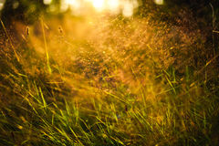 Grass in sunset. Shot of blurred grass in evening sunset lighting Stock Photography