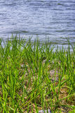 Grass swam. Swam park water stone light Stock Photography