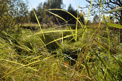 Grass in the swamp Stock Photos