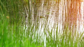 Grass in the swamp. stock footage