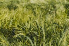 Grass swaying in the wind in the field royalty free stock image