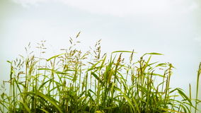 Grass Swaying in the Wind Stock Images