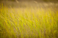 Grass sways in the wind. Autumn , green grass sways in the wind Royalty Free Stock Photography