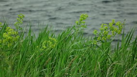 grass sways in the wind with blurred lake waves at background. stock footage