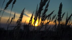 Grass sways in the wind, tranquil landscape at sunset stock video footage