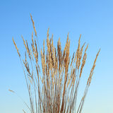 Grass tassels. Wild grass dry ripe tassels over blue sky background at autumn Royalty Free Stock Images