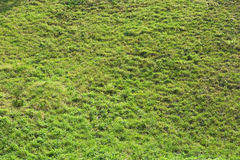 Grass texture. Texture of green clean gras royalty free stock photo