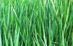 Grass texture Royalty Free Stock Photo