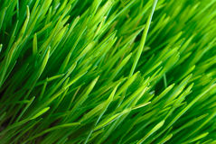 Grass texture. Spring grass texture, fields and meadows Stock Image