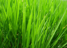 The grass texture Stock Image