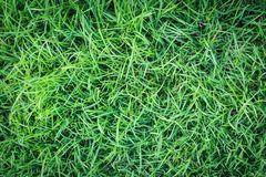 Grass texture or grass background. green grass for golf course, soccer field or sports background concept design. Natural green grass Stock Images