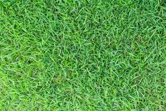 Grass texture or grass background. green grass for golf course, soccer field or sports background concept design. Natural green grass Stock Image
