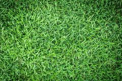 Grass texture or grass background. green grass for golf course, soccer field or sports background concept design. Natural green grass Royalty Free Stock Photos