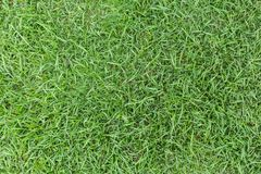 Grass texture or grass background. green grass for golf course, soccer field or sports background concept design. Natural green grass Stock Photography