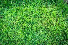 Grass texture or grass background. green grass for golf course, soccer field or sports background concept design. Natural green grass Royalty Free Stock Images