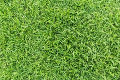 Grass texture or grass background. Green grass for golf course, soccer field or sports background concept design. Grass field texture for golf course, soccer Stock Images
