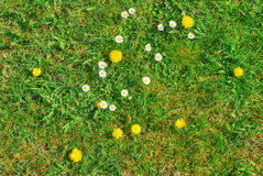 Grass texture with blooming flowers Stock Image
