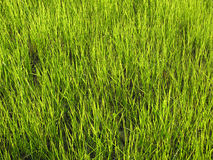 Grass texture. Fresh grass sprotus through the wet ground stock image