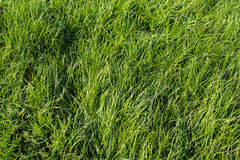 Grass texture. Green grass natural texture background Stock Photo