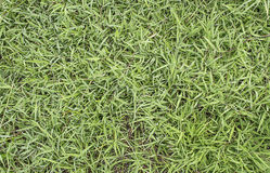 grass texture image for background usage. Royalty Free Stock Photography