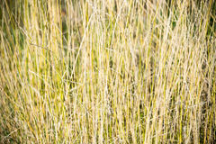 Grass texture. Tall and withery grass in autumn Stock Photography