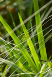 Grass and thread in the dew, close-up shot. Royalty Free Stock Images