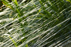 Grass and thread in the dew, close-up shot. Royalty Free Stock Image