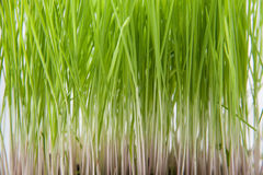 Grass tips. Tips of a growing grass at a window in the apartment Royalty Free Stock Images