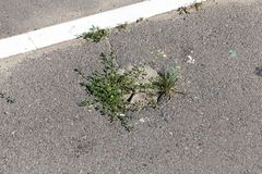 Grass to germinate asphalt. Green grass breaking through and growing in pits on asphalt road stock photos