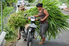 Grass transportation. BALI - JANUARY 24. Balinese rice farmers transporting feed for cattle on January 24, 2012 in Bali, Indonesia. Most Balinese people cannot Royalty Free Stock Images
