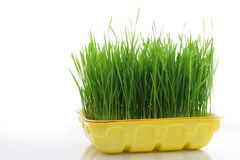 Grass in tray Stock Images