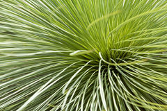 Grass tree or Black boy Royalty Free Stock Photos