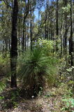 Grass tree or blackboy in jarrah forest Stock Image
