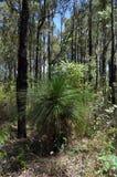 Grass tree or blackboy in jarrah forest. Australian native blackboy or grass tree grows in the south west of Australia stock image