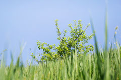 Grass, tree and blue sky Stock Photography