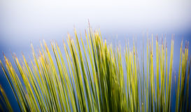 Grass Tree Details Royalty Free Stock Image