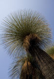 Grass tree Royalty Free Stock Photography