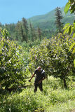 Grass trimming in orchard. Man working in cherry orchard trimming grass and weeds in a mountain landscape in British Columbia, Canada royalty free stock photography