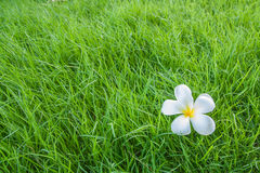 Grass. Tropical flower Plumeria alba (White Frangipani) on grass stock photo
